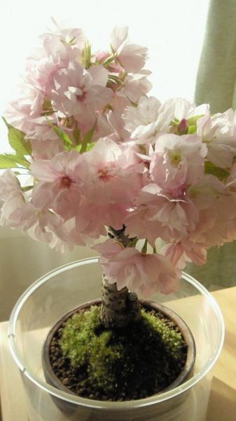 11桜04 (1).JPG